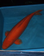 紅鯉 87cm