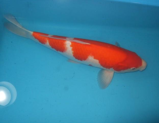 錦屋養鯉場  紅白 45cm  錦鯉の販売 通信販売 錦屋養鯉場