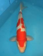 ドイツ紅白 45cm