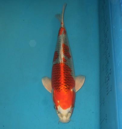 錦屋養鯉場  紅クジャク黄金 40cm 錦鯉の販売 通信販売 錦屋養鯉場