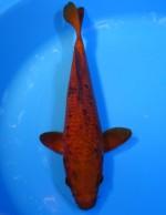 あずき茶鯉 26cm