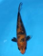 紅松川化け 15cm