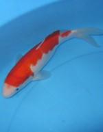 紅白 29cm