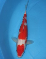 紅白 32cm
