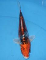 大鱗クジャク黄金 21cm