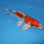 紅クジャク黄金 31cm