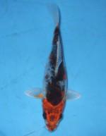 大鱗クジャク黄金 16cm