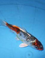ブルー  クジャク黄金 16cm
