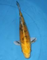 トラ黄金 29cm