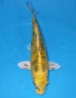 影トラ黄金 21cm