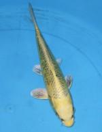 山吹 松葉黄金 31cm