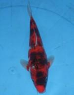 変わり鯉 28cm