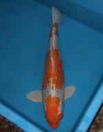 クジャク黄金 70cm
