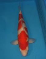 紅白 61cm