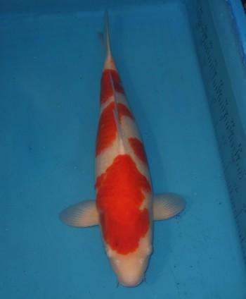 錦屋養鯉場  紅白 61cm 錦鯉の販売 通信販売 錦屋養鯉場