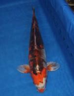 紅輝黒龍(べにきこくりゅう) 56cm