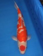 紅白 54cm