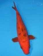 赤べっ甲 18cm