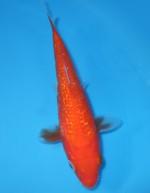 ダイヤ緋鯉 14cm