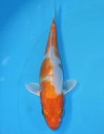 菊水 15cm