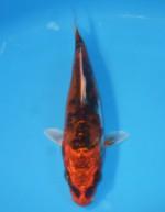紅輝黒龍(べにきこくりゅう) 13cm