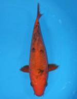 赤べっ甲 23cm