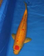 丸天かの子 紅葉 50cm