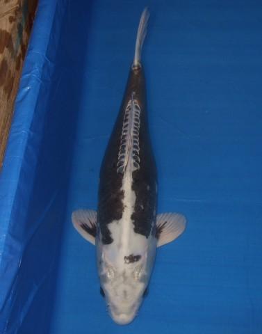 錦屋養鯉場  輝黒龍 65cm 錦鯉の販売 通信販売 錦屋養鯉場