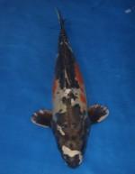 紅輝黒龍 57cm