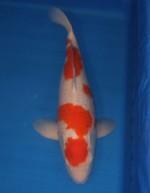 紅白 60cm