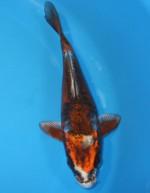 紅輝黒龍 18cm