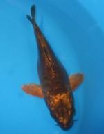 大鱗メタリック茶鯉  18cm