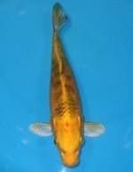 トラ黄金 23cm