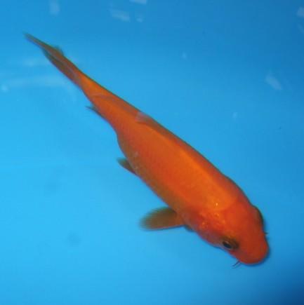 錦屋養鯉場 紅鯉 10cm 錦鯉販売 通信販売 錦屋養鯉場