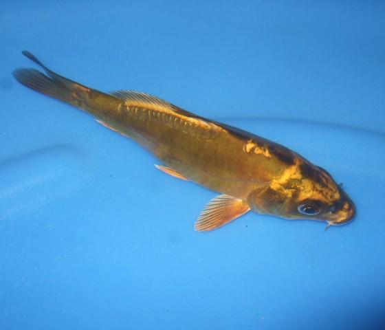 錦屋養鯉場  コバルトグリーン 16cm  錦鯉販売 通信販売 錦屋養鯉