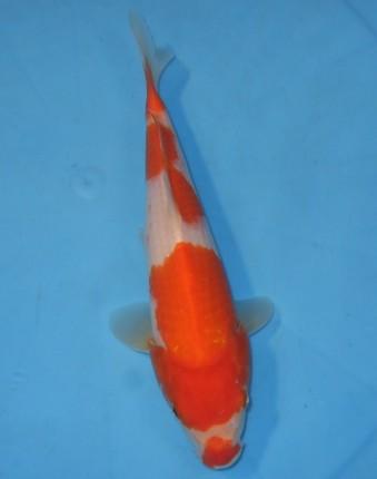 錦屋養鯉場  口紅 紅白 28cm 錦鯉販売 通信販売 錦屋養鯉場
