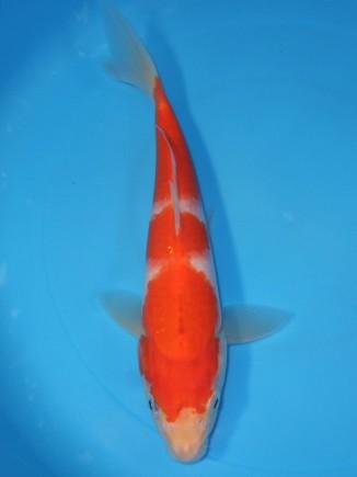 錦屋養鯉場  紅白 24cm 錦鯉の販売 通信販売 錦屋養鯉場