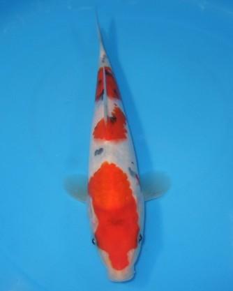 錦屋養鯉場  三段大正三色 22cm  錦鯉販売 通信販売 錦屋養鯉場