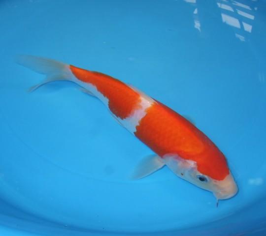 錦屋養鯉場  紅白 21cm  錦鯉販売 通信販売 錦屋養鯉