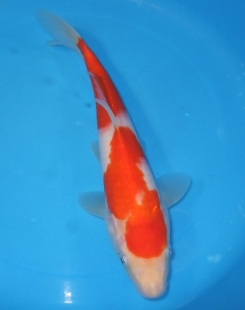 錦屋養鯉場  紅白 27cm  錦鯉販売 通信販売 錦屋養鯉
