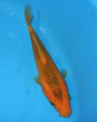 黄松葉 15cm