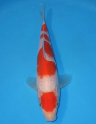 錦屋養鯉場  日の丸 紅白 22cm 錦鯉販売 通信販売 錦屋養鯉場