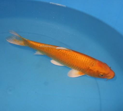 錦屋養鯉場 黄赤黄金 35cm 錦鯉の販売 通信販売 錦屋養鯉場