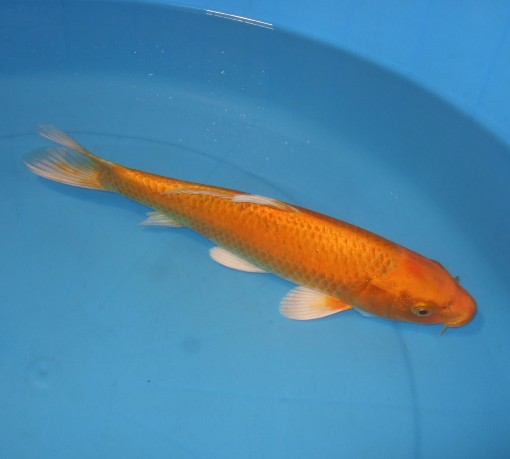 錦屋養鯉場 オレンジ黄金 35cm 錦鯉の販売 通信販売 錦屋養鯉場