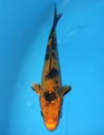 大鱗  金黄写り 10cm