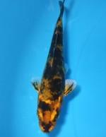 金黄写り 10cm