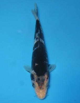 墨錦(ドイツ変わり鯉)13cm