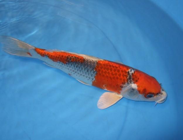 錦屋養鯉場  クジャク黄金 30cm  錦鯉 金魚販売 通信販売 錦屋養鯉場