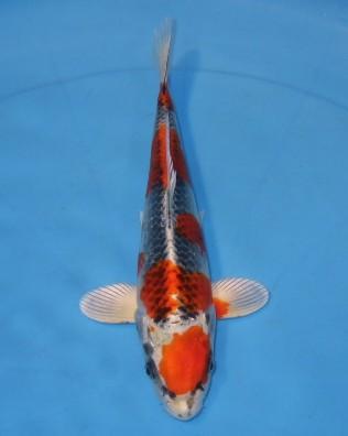 錦屋養鯉場  クジャク黄金 26cm  錦鯉 金魚販売 通信販売 錦屋養鯉