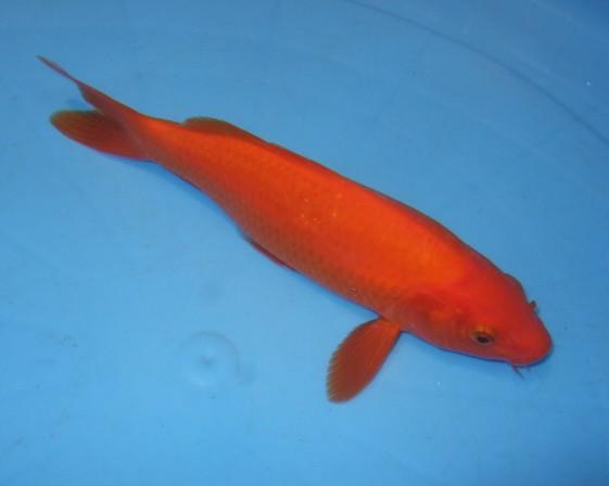 錦屋養鯉場 紅鯉 23cm 錦鯉金魚販売 通信販売 錦屋養鯉場